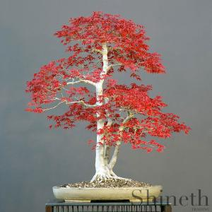 Japansk rödlövad lönn (Acer Palmatum atropurpureum)