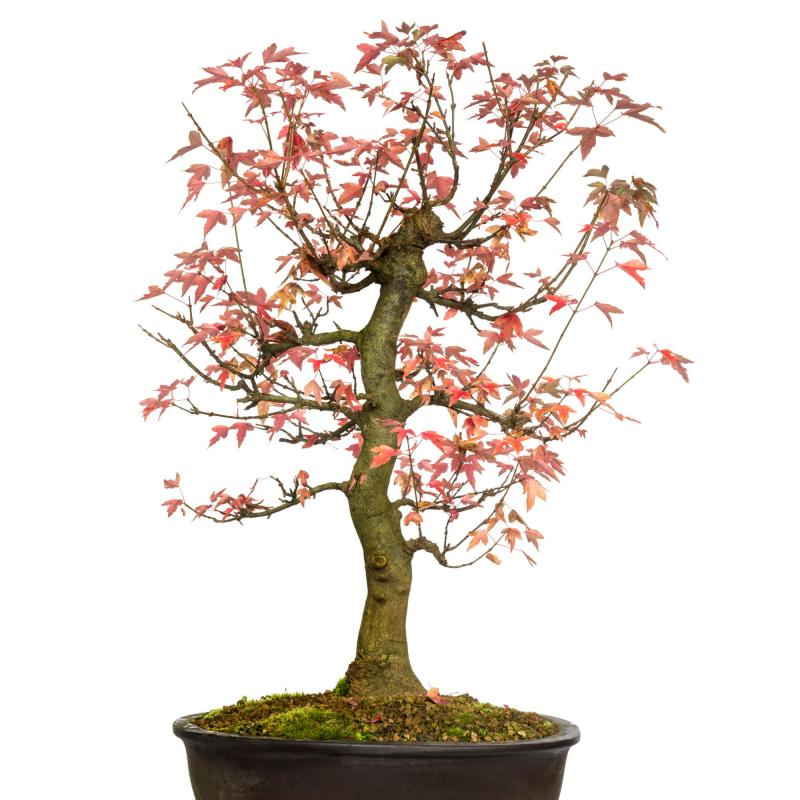 Tridentlönn (Acer Buergerianum)