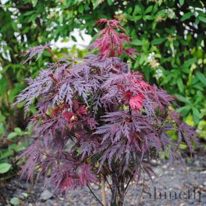 Japansk lönn Burgundy/chokladfärgat spetsblad (Acer palmarum)