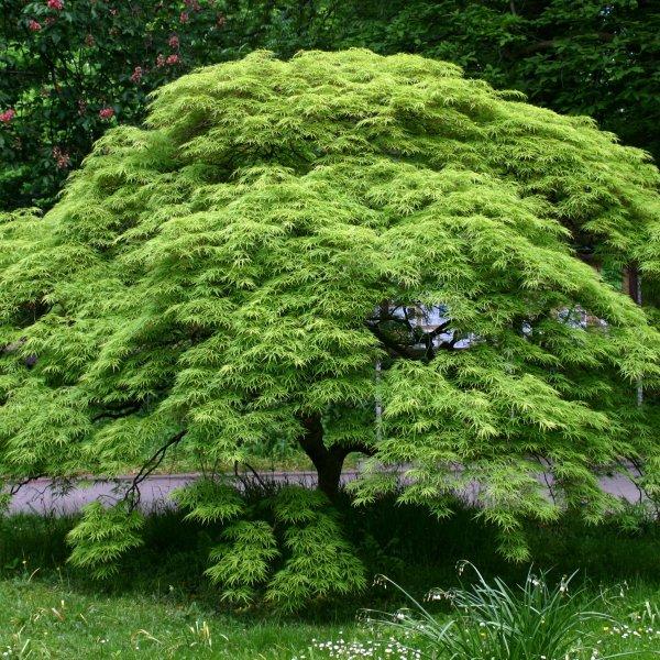 Japansk lönn Vattenfall (Acer palmatum)