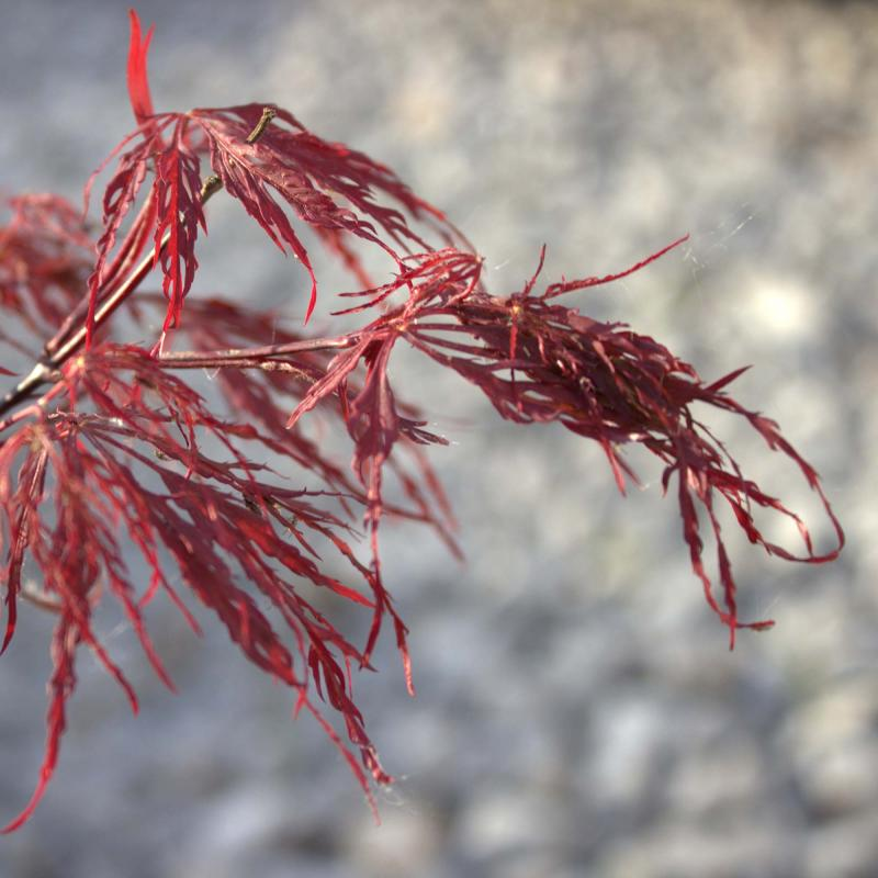 Japansk lönn Röda spetsblad (Acer palmatum matsumurae Atropurpureum Dissectum)