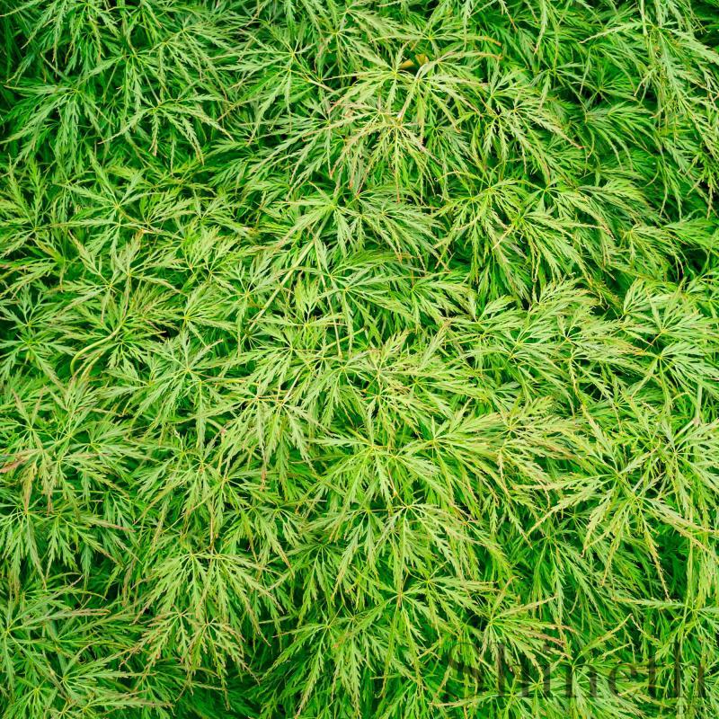 Japansk lönn Grön spetsblad (Acer palmatum matsumurae Dissectum)
