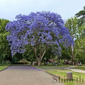 Kejsarträd (Paulownia tomentosa)