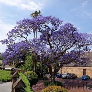 Blå Jakaranda träd (Jacaranda mimosa)