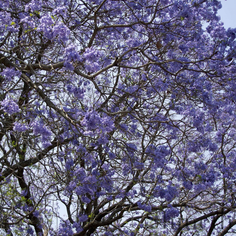 träd lila blommor