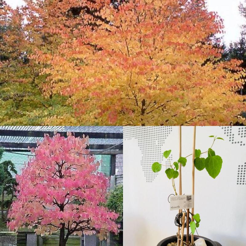 Japansk Katsuraträd (Cercidiphyllum Japonicum)