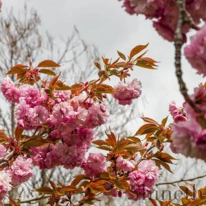Japansk Sakura blommande körsbärsträd (Prunus serrulata)