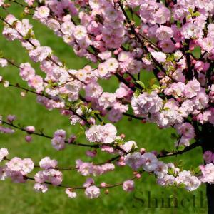 Rosenmandel (Prunus triloba)