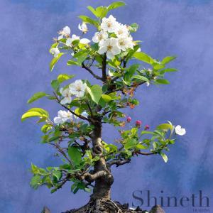 Vejksel körsbärsträd (Prunus Mahaleb)