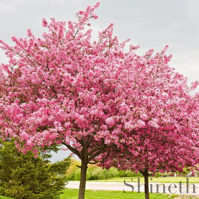 Amerikanskt Judasträd (Cercis canadensis)