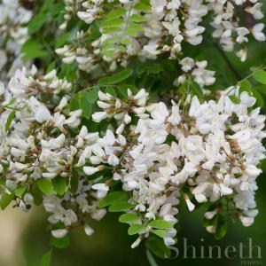 Robinia (Robinia Pseudoacacia)