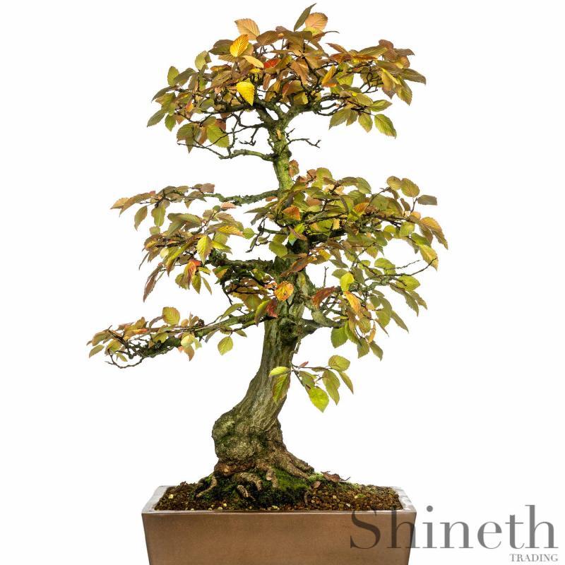 Koreansk Avenbok (Carpinus turczaninowii)