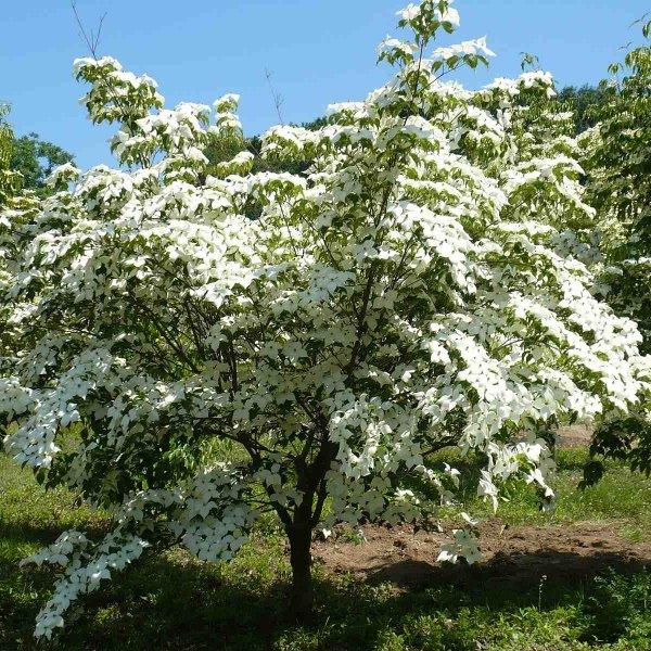 Kinesisk Blomsterkornell (Cornus kousa chinensis)