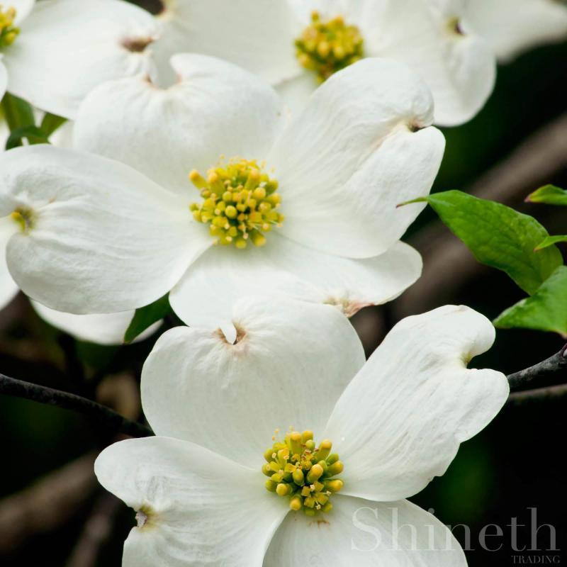 Vit blomsterkornell (Cornus Florida)