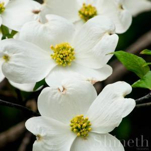 Vit blomsterkornell (Cornus Florida) - Planta