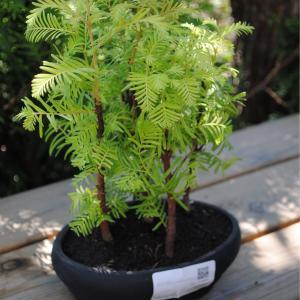 Kinesisk sekvoja (Metasequoia glyptostroboides)