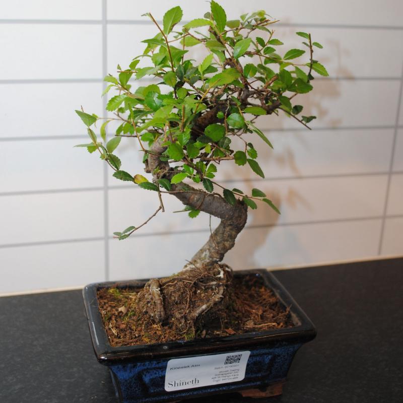 Kinesisk Alm (Ulmus parvifolia)