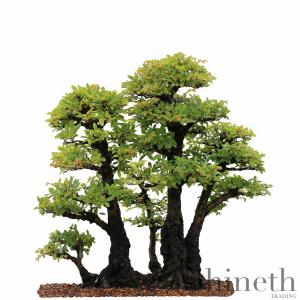 Kinesisk Alm (Ulmus parvifolia) - planta