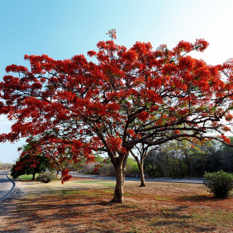 Flamboyant- eller Kungliga Poinciana  träd (Delonix regia)