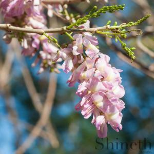 Quick Stickträd (Gliricidia sepium) - 10 st frön/förp. 