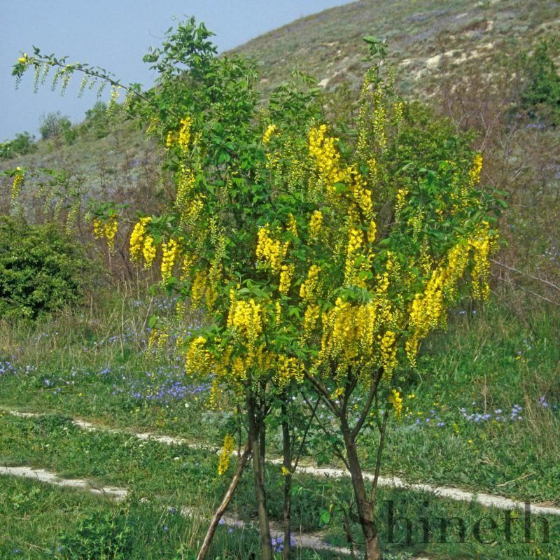 Alpgullregn (Alpinum Laburnum)