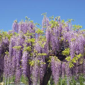 Japansk Blåregn (Wisteria floribunda)