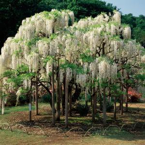 Vit Kinesisk Blåregn (Wisteria sinenis alba)