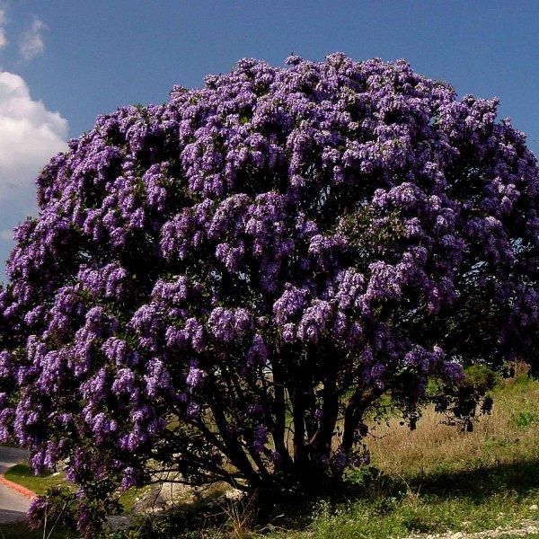 Mountain Laurel Texas (Sophora secundiflora)