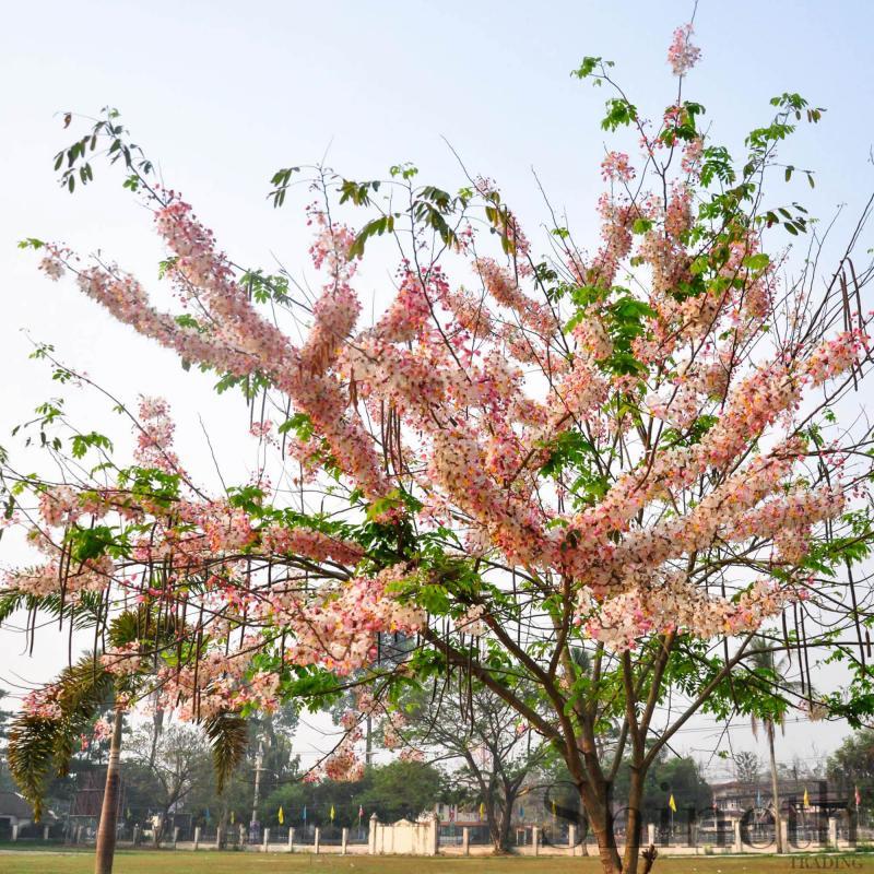 Cassia Grandisträd - Coral Shower träd