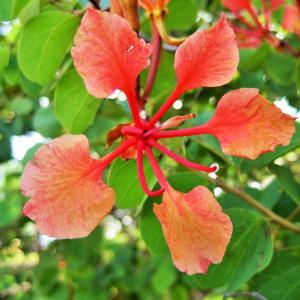 Rött Orkidéträd (Bauhinia galpinii)