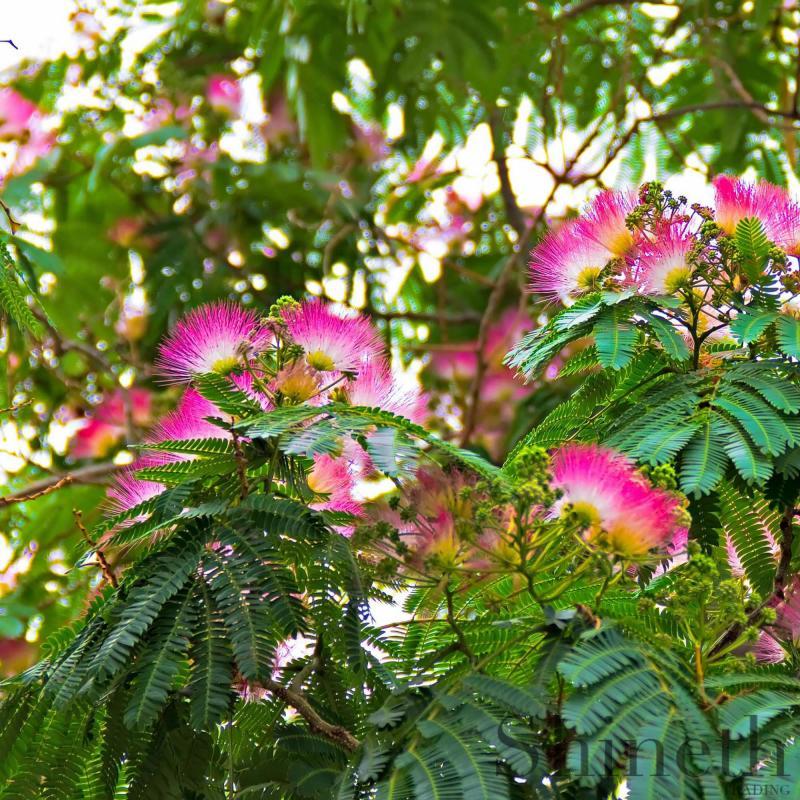 Mimosa Silkesträd (Albizia julibrissin)