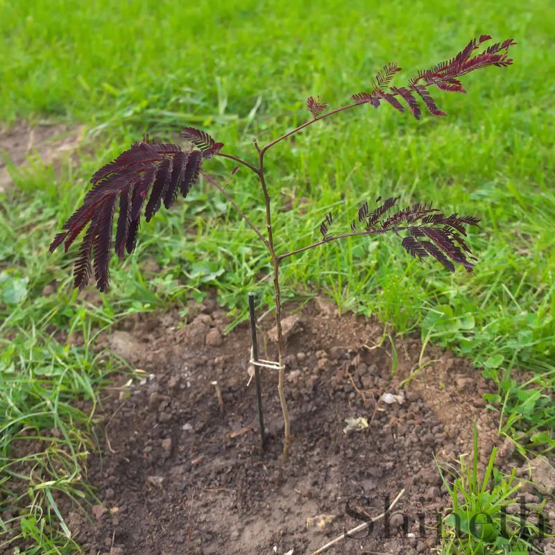 Lila Mimosa Silkesträd - Summer Chocolate (Albizia julibrissin)