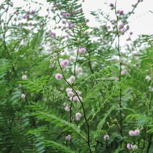 Mimosa Pigra