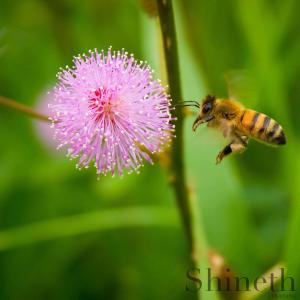 Sensitiva (Mimosa pudica)