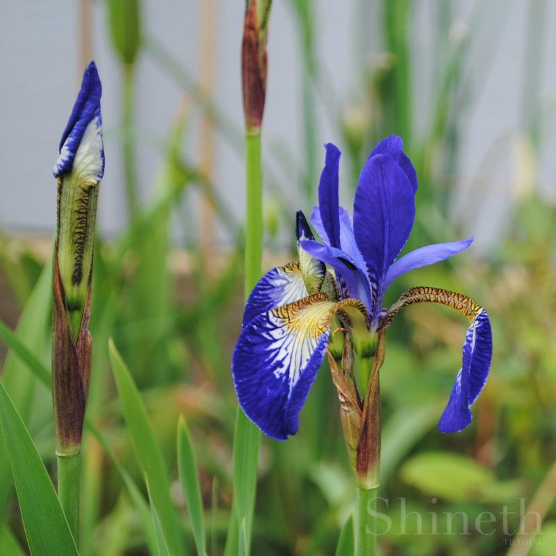 Mörkblå Sibiricairis