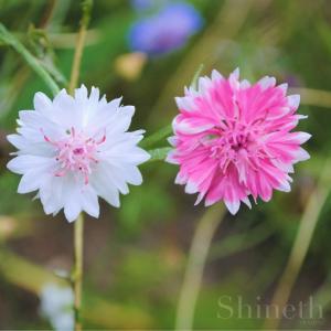Rosa och vita blåklint - Centaurea Cyanus (mix)