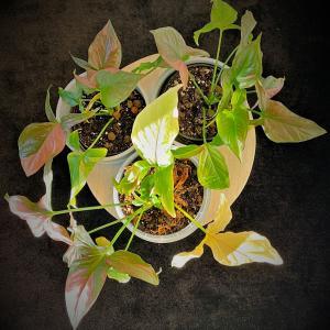 "Syngonium Podophyllum ""Red Spot"""