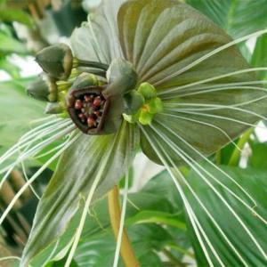 Grön Fladdermusblomma (Tacca chantrieri)