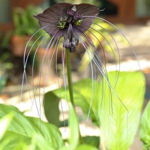 Svart Fladdermusblomma (Tacca chantrieri) är en riktigt udda växt med svarta blommor som påminner om fladdermöss.