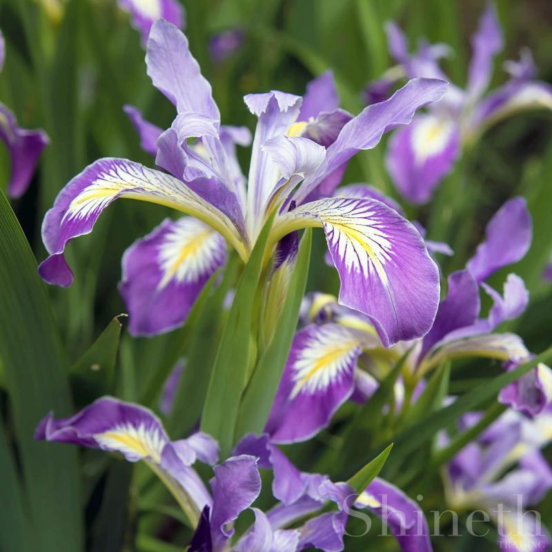 Oregon Iris (Iris tenax)
