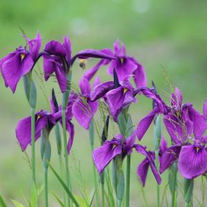 Japansk iris (Iris ensata)