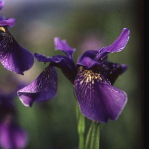 Strandiris hybrider (Siberian Iris)