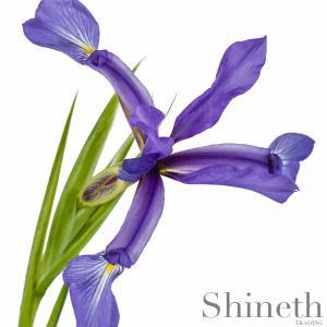 Spuria Iris (Iris sintenisii)