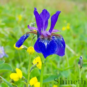 Rabbit-ear Iris, Kakitsubata (Iris laevigata)