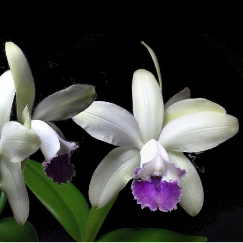 Cattleya orkidé  - Intermedia (semi-alba coerulea)