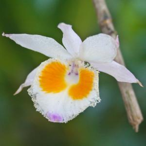Vild orkidé (Dendrobium devonianum)