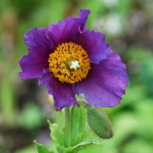 Meconopsis betonicifolia Hensol violet (Meconopsis baileyi)