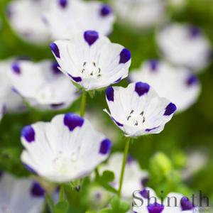 Kärleksblomster (Nemophila maculata)