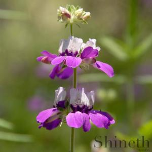 ​Chinese House (Collinsia heterophylla)​