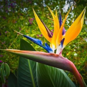 Papegojblomma (Strelitzia reginae)